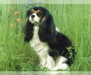 Small #7 Breed Cavalier King Charles Spaniel image