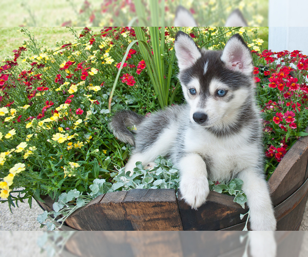 Image of Pomsky Breed