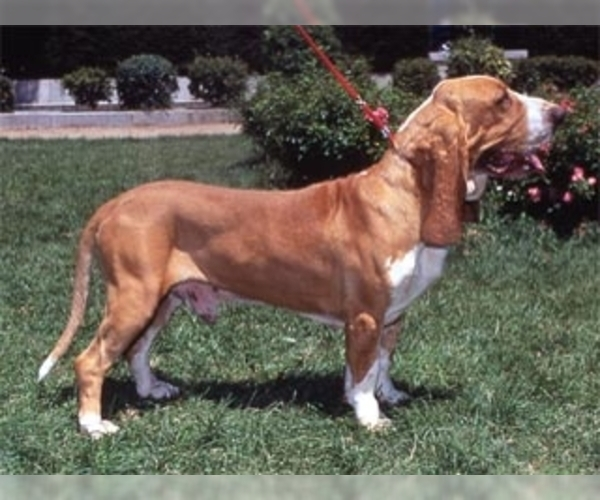 Image of Spanish Hound Breed