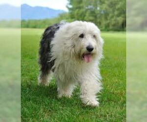 Small #1 Breed Old English Sheepdog image