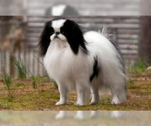 Small #5 Breed Japanese Chin image