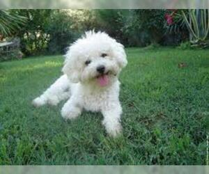 Small #5 Breed Bichon Frise image