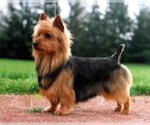 Small #3 Breed Australian Terrier image