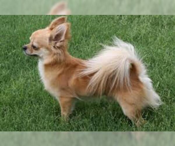 Medium Photo #6 Chihuahua Dog Breed