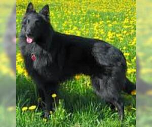 Small #2 Breed Belgian Sheepdog image
