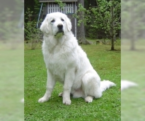 Tatra Shepherd Dog (Owczarek Podhalanski)