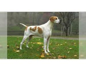 Small #1 Breed Pointer image