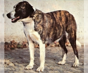 Image of Rafeiro do Alentejo (Portuguese Watchdog ) breed