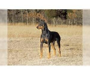 Small #2 Breed American Rat Pinscher image