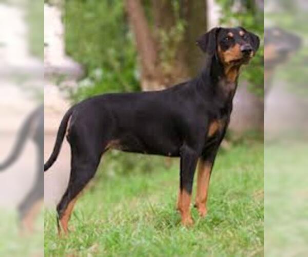 Medium Photo #5 German Pinscher Dog Breed