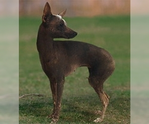 Inca Hairless Dog