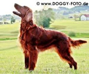 Small Photo #4 Irish Setter Dog Breed