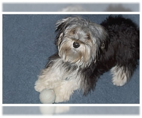 Image of Morkie Breed