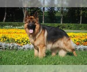 Small #3 Breed German Shepherd Dog image