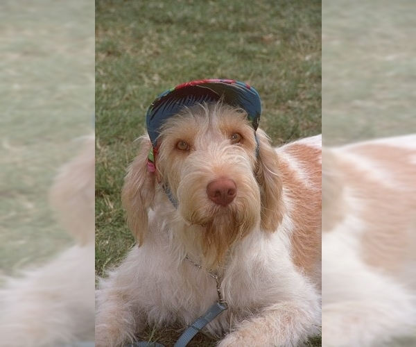 Image of Spinone Italiano Breed