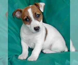 Photo of Jack Russell Terrier