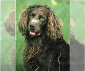 Image of Deutscher Wachtelhund Breed