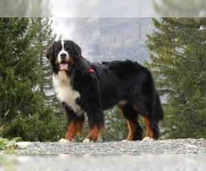Small #3 Breed Bernese Mountain Dog image