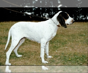 Image of Gascons-Saintongeois breed