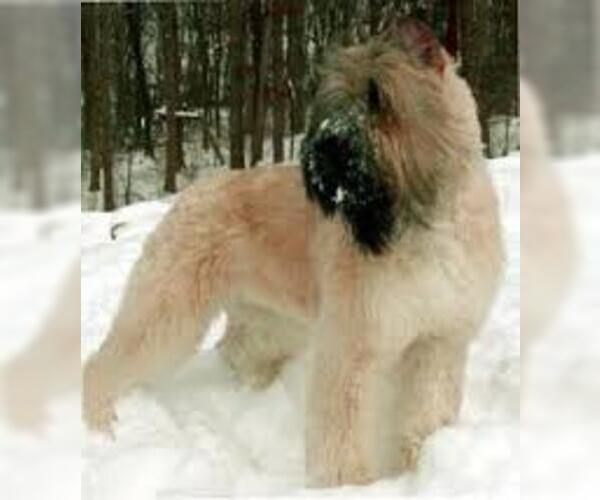 Medium Photo #6 Bouvier Des Flandres Dog Breed