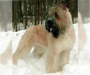 Small Photo #6 Bouvier Des Flandres Dog Breed