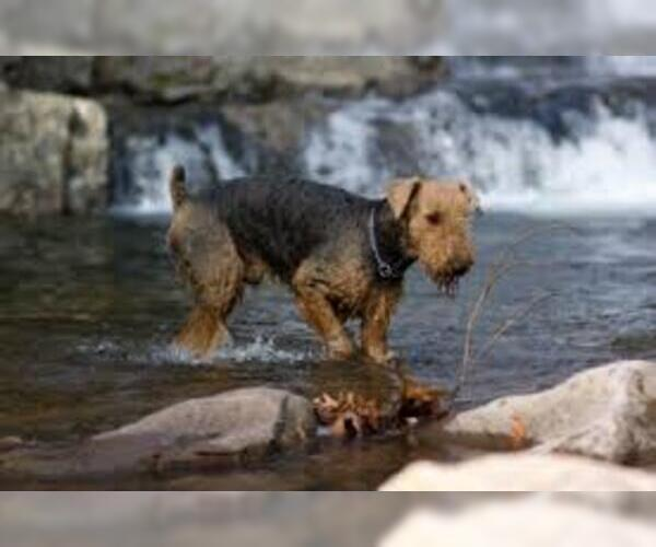 Medium Photo #6 Airedale Terrier Dog Breed