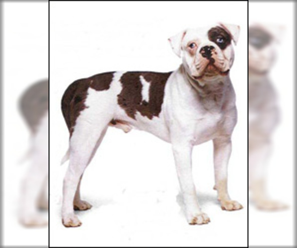 Image of American Bulldog Breed