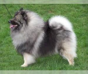 Small #7 Breed Keeshond image