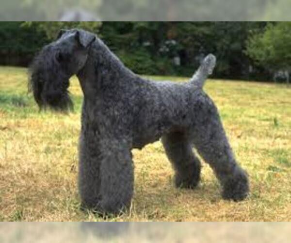 Medium Photo #7 Kerry Blue Terrier Dog Breed