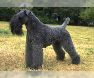 Small #6 Breed Kerry Blue Terrier image