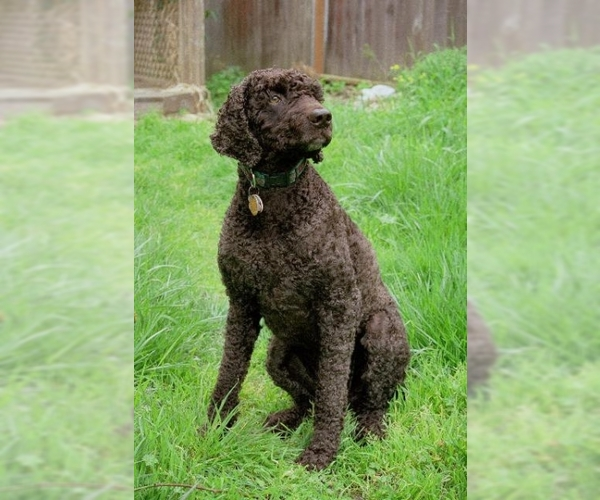 Image of Irish Water Spaniel Breed