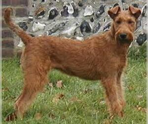 Small #3 Breed Irish Terrier image