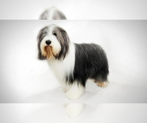 Small #6 Breed Bearded Collie image