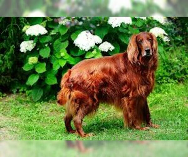 Image of Irish Setter Breed