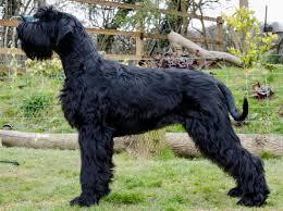 Medium Photo #5 Schnauzer (Giant) Dog Breed