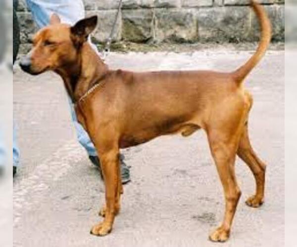 Medium Photo #4 German Pinscher Dog Breed