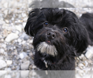 Small #11 Breed Havanese image