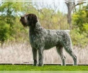 Small #5 Breed Wirehaired Pointing Griffon image