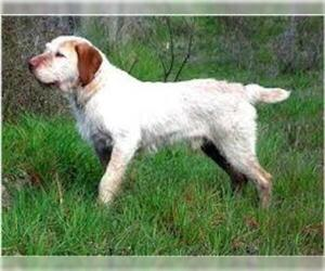 Small #1 Breed Spinone Italiano image
