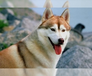 Image of breed Siberian Husky