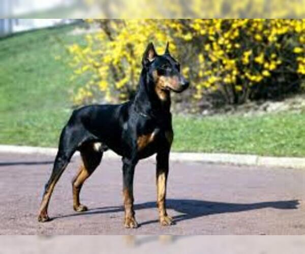 Image of American Rat Pinscher Breed