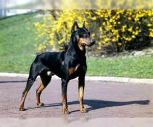 Samll image of American Rat Pinscher