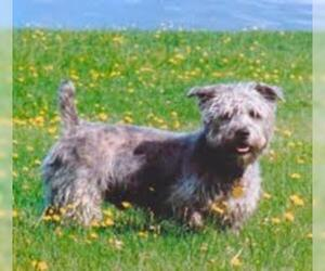 Small #2 Breed Glen of Imaal Terrier image