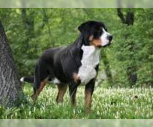 Medium Photo #5 Greater Swiss Mountain Dog Dog Breed