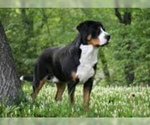 Greater Swiss Mountain Dog