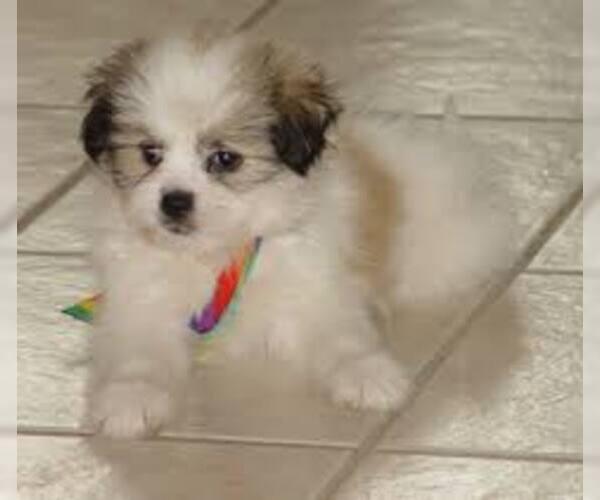 Medium Photo #5 Kimola Dog Breed
