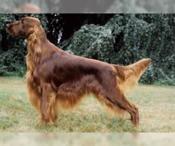 Medium Photo #6 Irish Setter Dog Breed