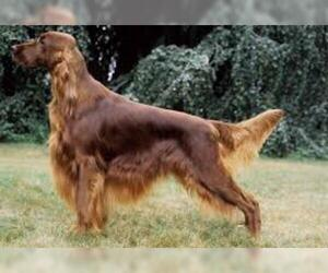 Small Photo #6 Irish Setter Dog Breed