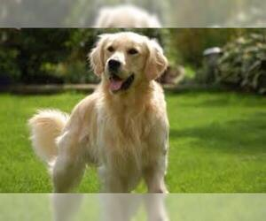 Small #6 Breed Golden Retriever image