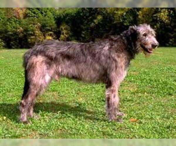 Medium Photo #2 Irish Wolfhound Dog Breed